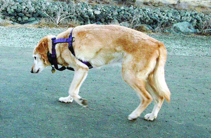 артрит у собаки симптомы