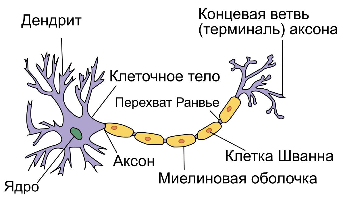 Нейрон структура
