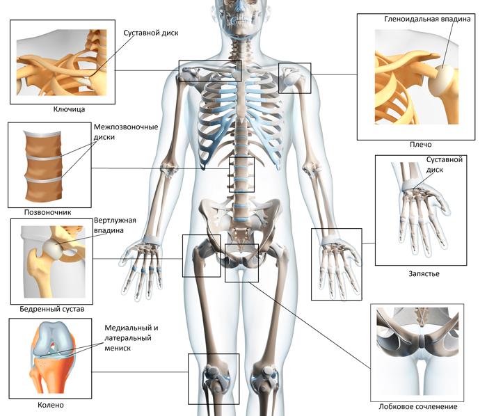 суставы человека схема