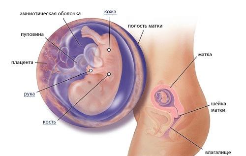 беременность схема